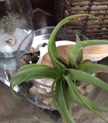 Air_Plants_for_sale_Debis_Place_6