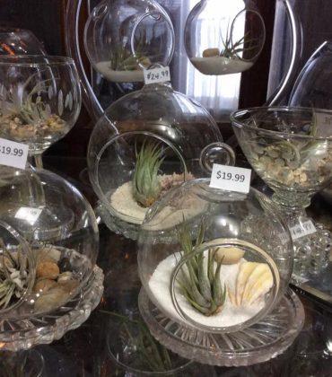 Air_Plants_for_sale_Debis_Place_9